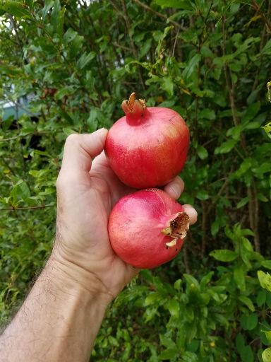 Pom-Fruit